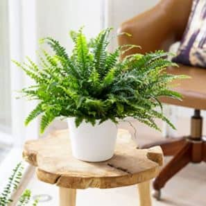 Une plante dépolluante mini format : la Fougère de Boston