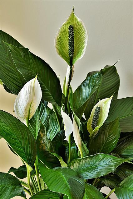 Spatiphyllum plante dépolluante pour limiter la pollution de l'air intérieur
