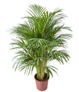 Donner une touche végétale tout en dépolluant l'air intérieur grâce à l'Areca