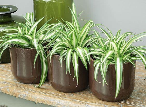 En pot ou suspendu, le chlorophyum est un champion de la dépollution de l'air